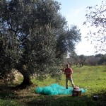 Andy picking olives in the sun