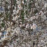 Abundant blossom