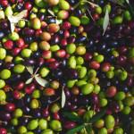 Organic olive oil Puglia