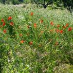 Green grass of Puglia
